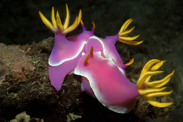 Nudibranch with tiny goby (Chromodoris sp.) - B.M.J., Kasawari